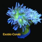 duncun corals