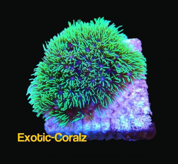 neon green star polyp