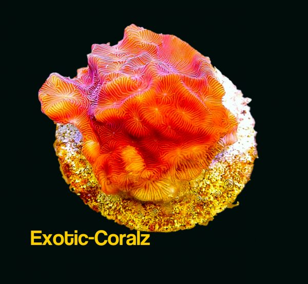 Red mazing maze coral