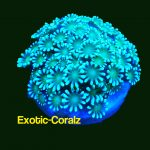 Gionopora-flowerpot coral