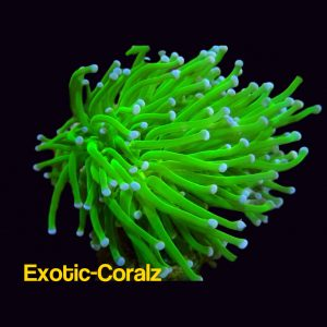 Neon green torch coral