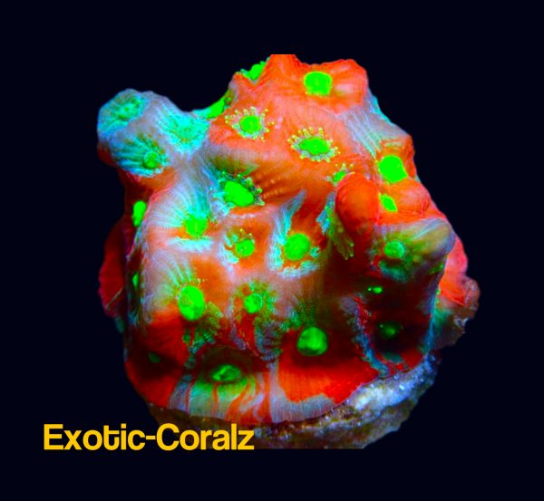 Red Green War coral