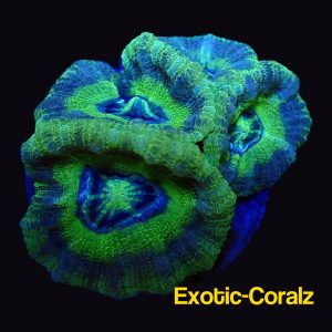 asioa lord acan florescence green