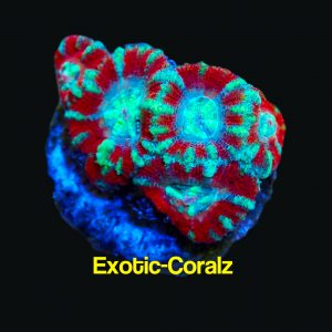 red green acan