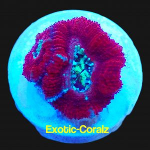 acan lord corals