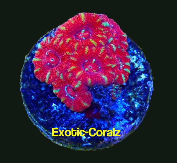 red acan