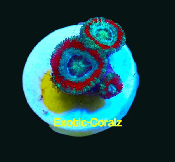 red acan8
