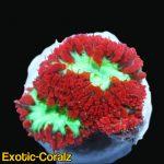 australia red green blastomussa coral