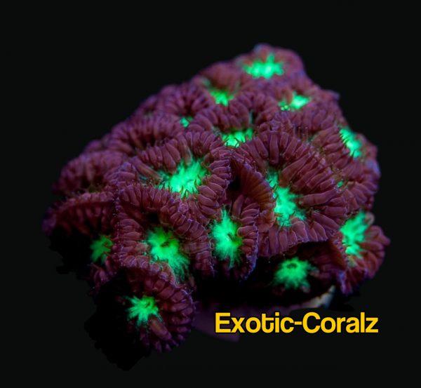 blastomussa merletti coral