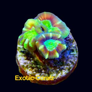 candy cane coral1