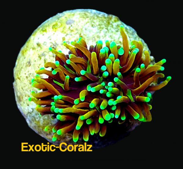 dragon soul torch coral