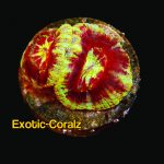 gold rim acan lord