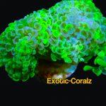toxic hammer  coral