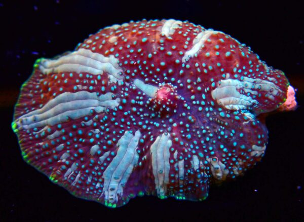 marble discosoma mushroom coral